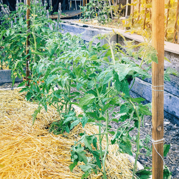 Example of tomato string trellis