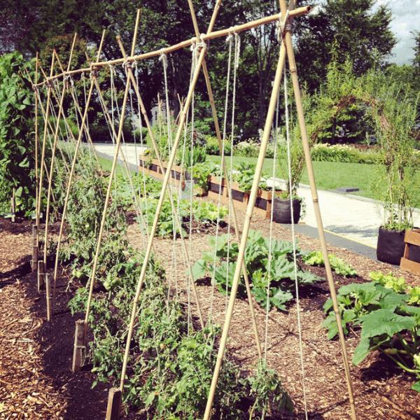 Tomato string trellis