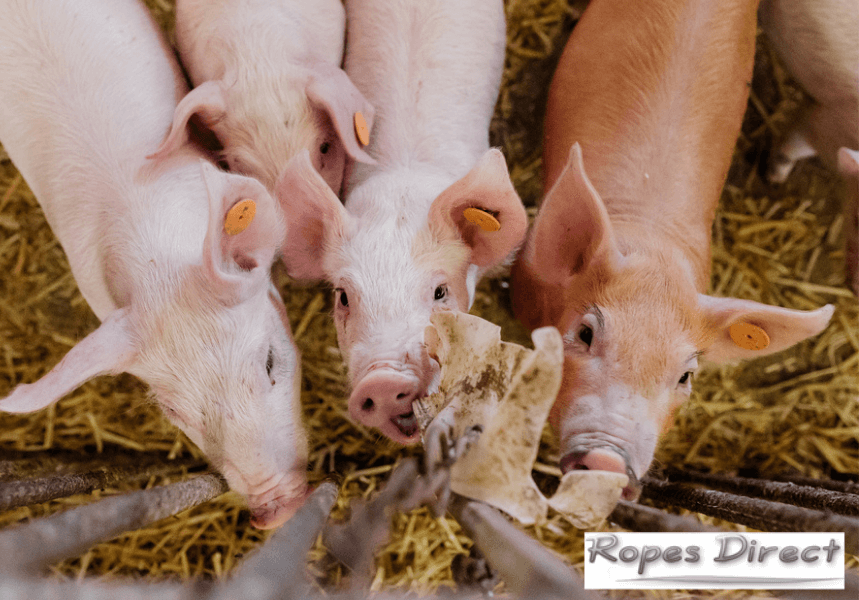 Pigs playing with pig enrichment toy